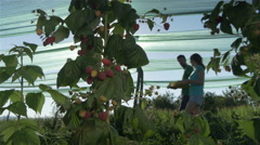 Raspberries close up, couple passing with crates, sunset, dolly shot by Pakito. Stock Footage