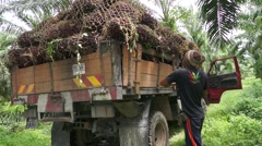 Plantation worker wrapping palm oil fruit on the truck Stock Footage