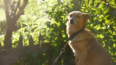 Dog sitting on chain in a box sunlight behind green background slow motion video Stock Footage