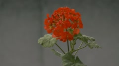 Red geranium flowers slow motion video Stock Footage
