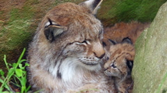 Lynx mother showing love to cubs in den Stock Footage