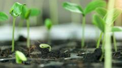 Macro close up, Timelapse of growing bean seeds growing, UHD 4k 3840x2160. Stock Footage