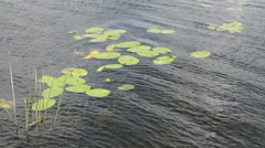Yellow Water-lily at Havel river (Brandenburg Germany). Stock Footage
