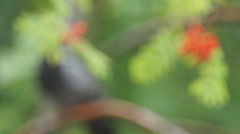 Rain, mountain ash, and the dove Stock Footage