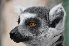 Close up portrait of ring-tailed lemur catta Stock Photos