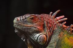 Close up portrait of green iguana male on black Stock Photos
