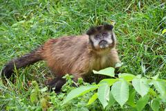 Brown tufted capuchin monkey male in green grass Stock Photos