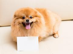 Spitz dog sits next to the card Stock Photos