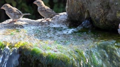 Wildlife Birds - English Hedge Sparrows drinking water Stock Footage