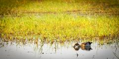 Duck on the Chobe River Stock Photos