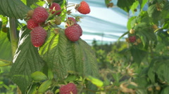 Plant of raspberries on wind in plantation,fruits close up,dolly shot by Pakito. Stock Footage