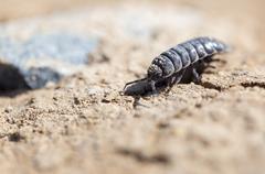Wood louse on dry ground. macro Stock Photos