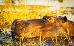 Hippopotamus Chobe River Stock Photos