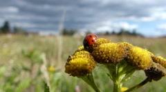 Ladybug feeding on tansy flowers Stock Footage
