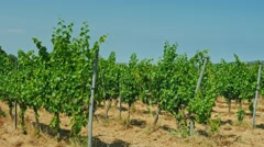 Steadicam shot: Vineyard on a sunny day - in the background the hills with Stock Footage