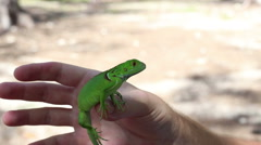 Iguana depth of field in my hand Stock Footage