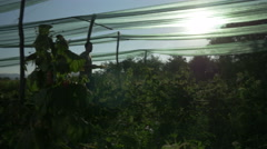 Pickers passing through plantation of raspberries with backstop, silhouettes. Stock Footage
