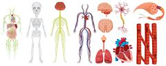 Different systems in human body Stock Illustration
