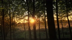 Woods forest trees with sunset sun shining background. green nature landscape Stock Footage
