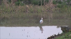 African spoonbill pruning in a dam Stock Footage