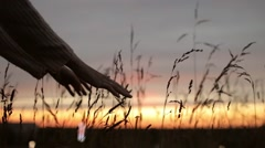 Female Hands Touch the Ears of Grass at Sunset Stock Footage