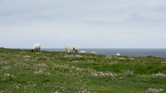 Irish Sheep, Ireland Stock Footage