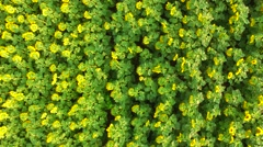 Flying up from blooming sunflowers Stock Footage