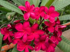 Red Plumeria on the  tree, frangipani tropical flowers. Stock Photos