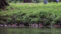 Feeding ducks in pond Stock Footage