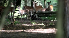 Family group of wild White Spotted Axis Deer look at camera under rain fall Stock Footage