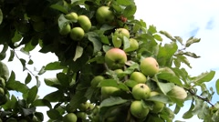 Ripe fruits on apple tree Stock Footage