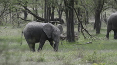 African elephant juvenile at waterhole, lock shot Stock Footage