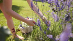 Cutting lavender flower and putting inside basket closeup 4K Stock Footage