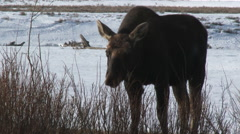 Moose (Alces alces) eating twigs, lock shot Stock Footage