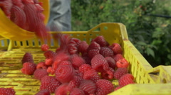 Picker shedding raspberries in crate, close up, dolly shot on left by Pakito. Stock Footage