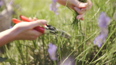 Harvest lavender flower closeup high view 4K Stock Footage