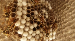 A Plurality of Wasps Crawling Slowly Along Dry Honeycomb Closeup Stock Footage