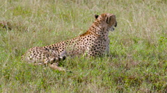FEMALE CHEETAH PANTING MAASAI MARA KENYA AFRICA Stock Footage
