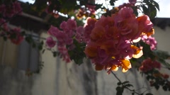 The Sun's Rays Make Their Way Through the Flowers of Bougainvillea. Slow Motion Stock Footage