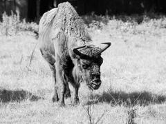 European wood bison in Bialowieza primeval forest Stock Photos