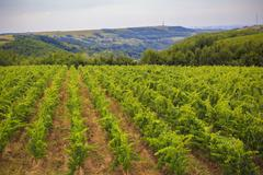 Hill covered with vines with traditional method Stock Photos