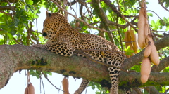 LEOPARD LAID SAUSAGE TREE MAASAI MARA KENYA AFRICA Stock Footage