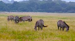 BURCHELL'S ZEBRAS GRAZING MAASAI MARA KENYA AFRICA Stock Footage