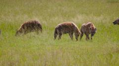 SPOTTED HYENA LONG GRASS MAASAI MARA KENYA AFRICA Stock Footage