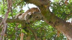LEOPARD LAYING IN TREE MAASAI MARA KENYA AFRICA Stock Footage