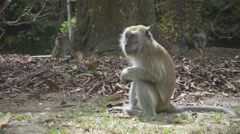 Monkey Chewing Food in a Botanical Gardens in Georgetown, Pinang. Slow Motion Stock Footage