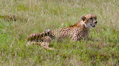 FEMALE CHEETAH SAT LONG MAASAI MARA KENYA AFRICA Stock Footage