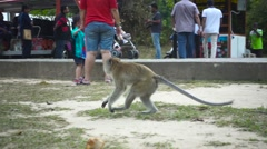 Running Monkey in a Botanical Gardens in Georgetown, Pinang Island. Slow Motion Stock Footage