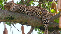 LEOPARD LAYING TREE MAASAI MARA KENYA AFRICA Stock Footage