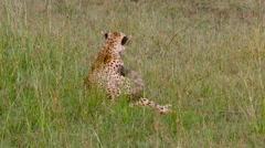 FEMALE CHEETAH LONG GRASS MAASAI MARA KENYA AFRICA Stock Footage